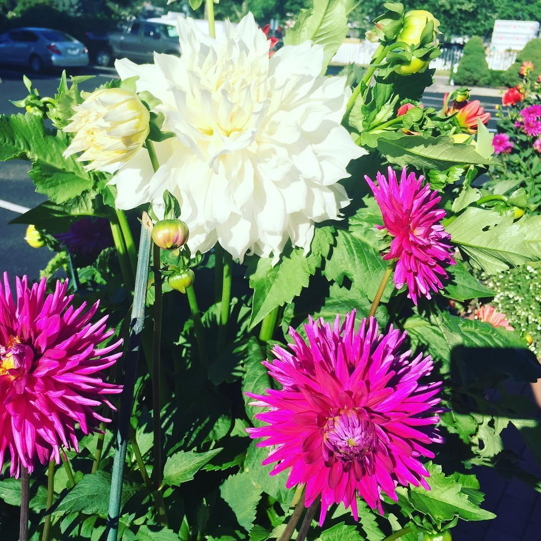 Love these Dahlias  East Hampton NY! flowers dahlias easthamptonhellip