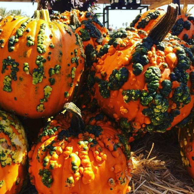 Warty Pumpkin Time! I the fall!! livelovelaughfood armstronggarden pumpkins fall