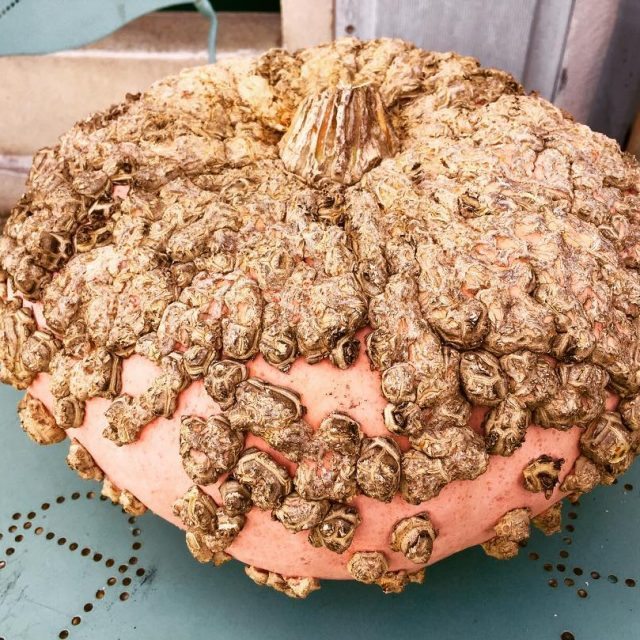 Warty Pumpkin in St Emilion France! Yes fall is everywhere!hellip